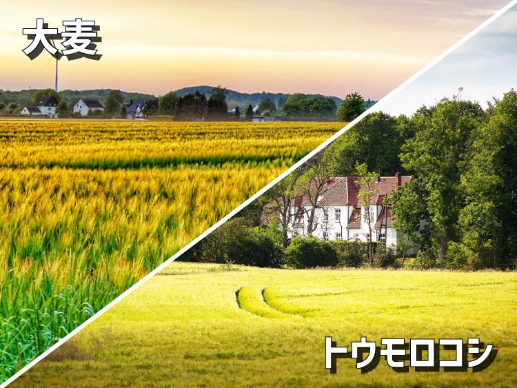 大麦畑とトウモロコシ畑